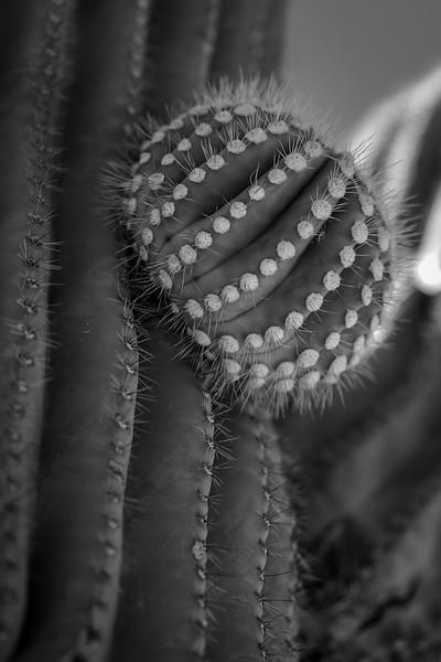 Saguaro Bud