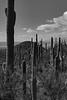 Saguaro Forest