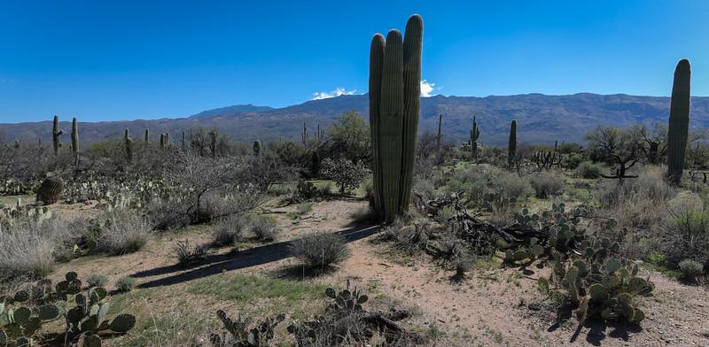 Cacti, Saguaro NP