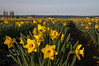Field of Daffodils<br /> La Conner, WA