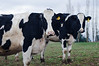 Cows <br /> Whatcom County, Washington