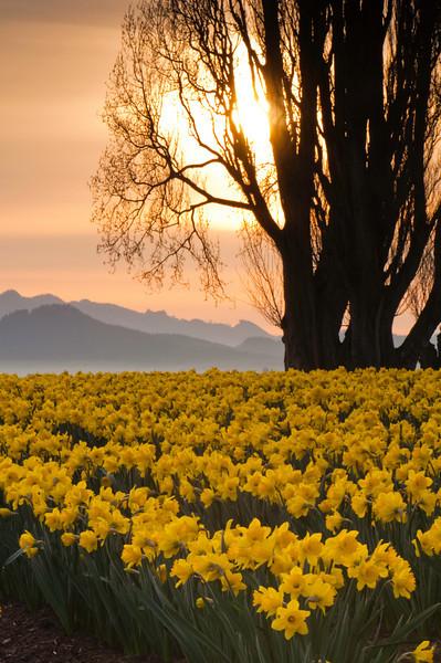 Daffodils at Sunrise<br /> La Conner, WA