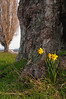 Daffodils Under Tree<br /> La Conner, WA