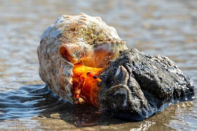 Knobbed Triton Snail