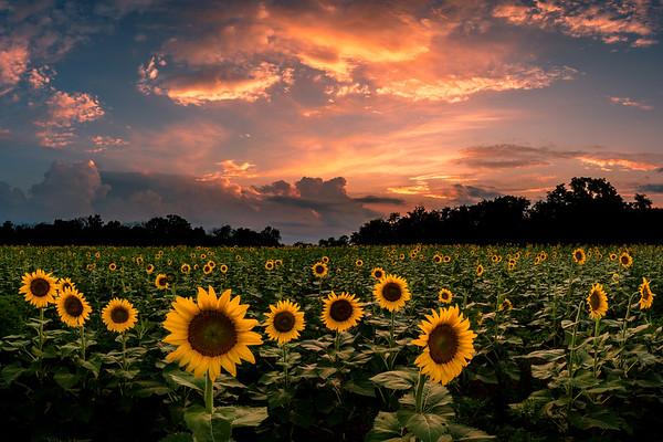 Sunflower Sunset Horizontal