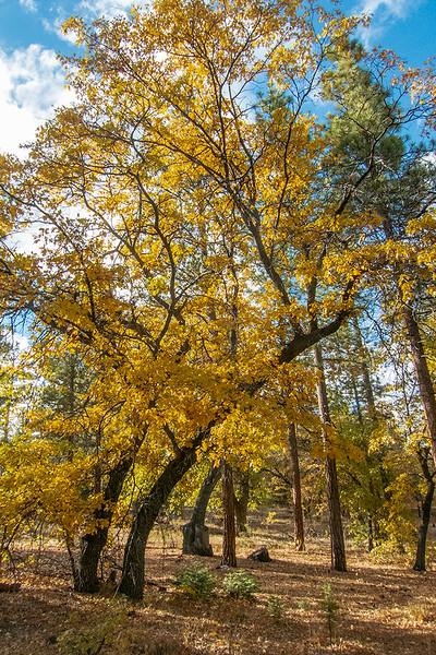 San Bernardino National Forest Fall Colors