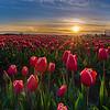It's Springing Tulips