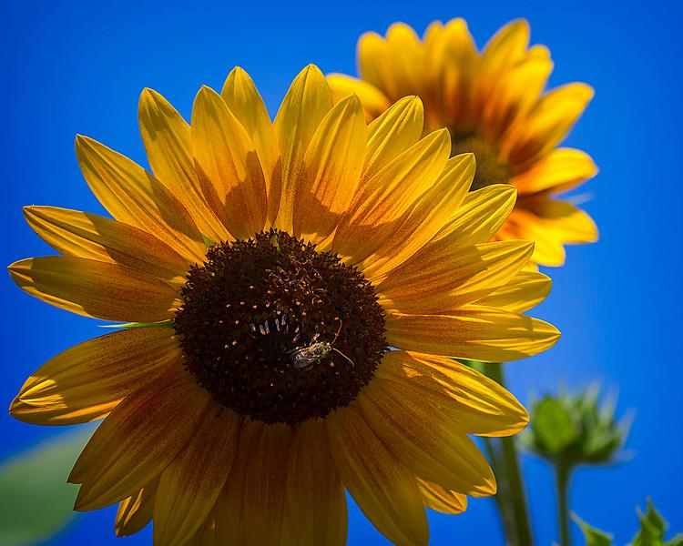 _N6A6610 7-10 sunflower
