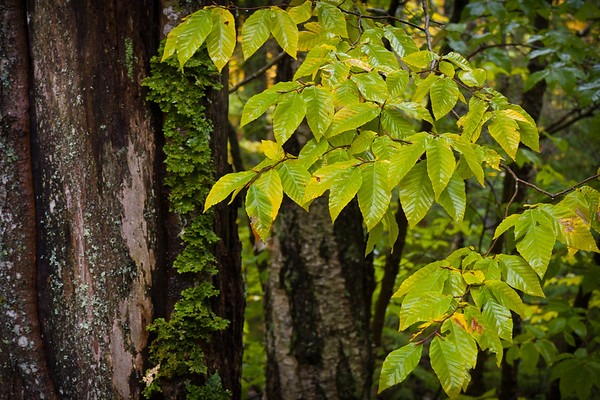 Wet Leaves and Bark Contrast - Acadia National Park, ME