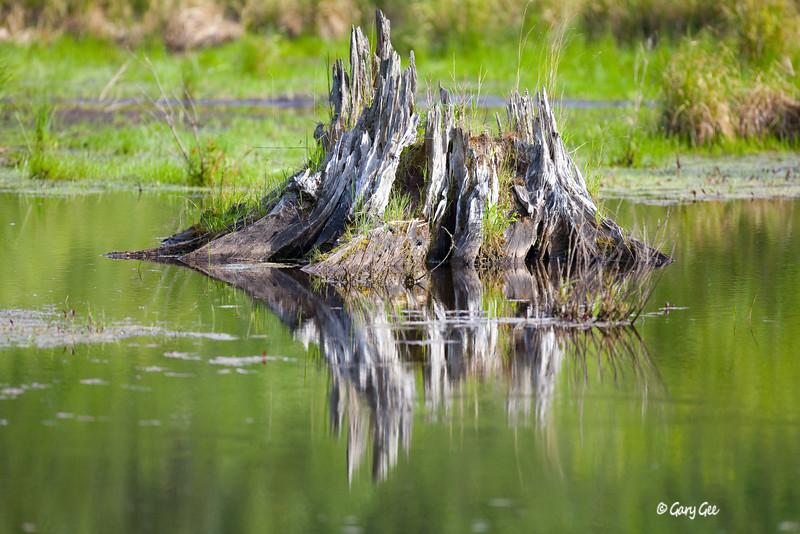 Aging Stump