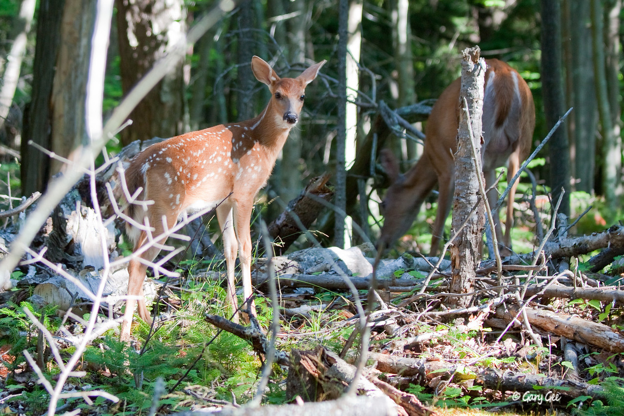 Whitetail Doe & Fawn on Presque Isle Marquette, MI