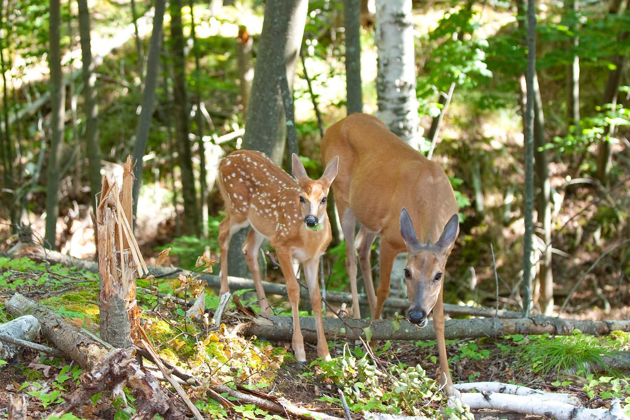 Doe and Fawn chewing on some downed birch leaves.....must be good! They sure didn't mind me watching them eat!