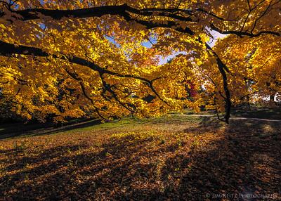Maple and sunshine - Minnesota Landscape Arboretum