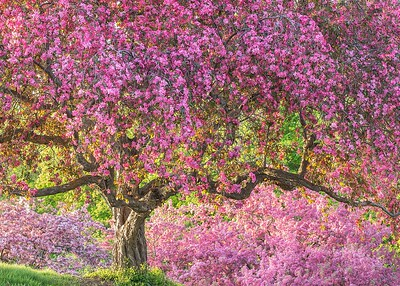Crab Apple Tree at Arboretum,MN