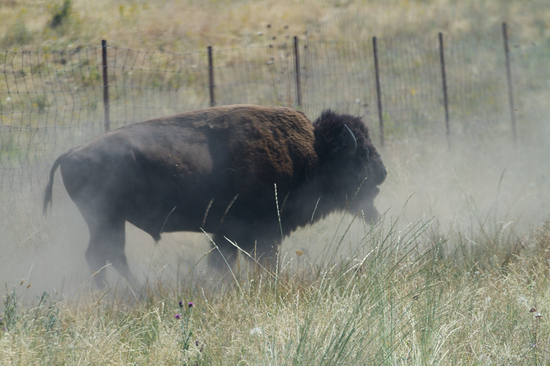 National Bison Range, Charlo MT - 2 hours from GNP.