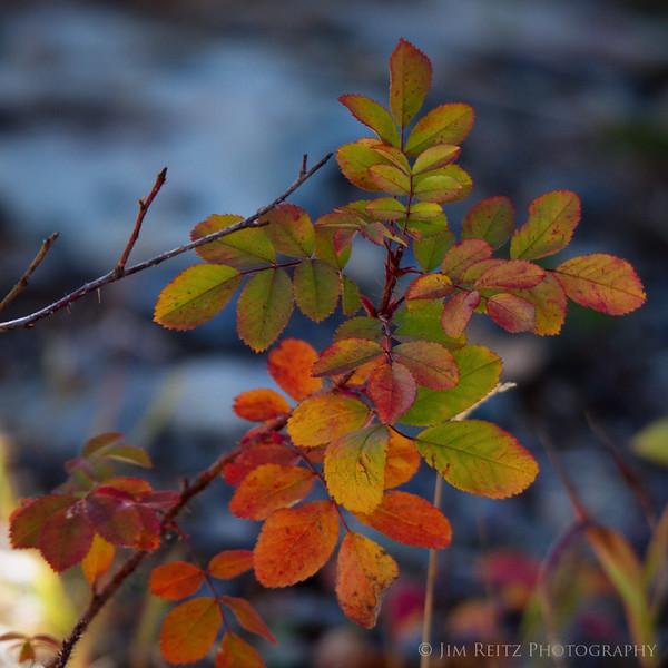 Fall color, Glacier National Park
