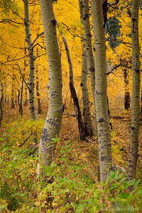 Aspens in autumn, Glacier National Park