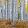 Yellow Aspen Grove