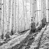 Aspen Hillside in Black & White