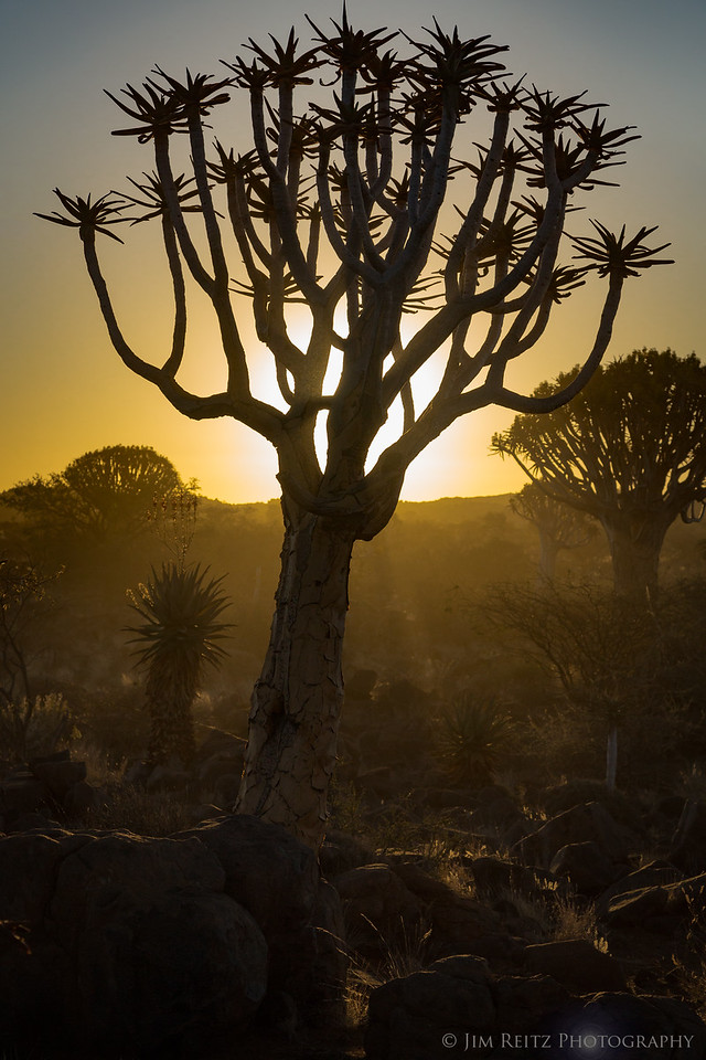 Quiver Tree forest near Keetmanshoop, Namibia. Quiver trees are really a species of Aloe plant, not actually a tree.