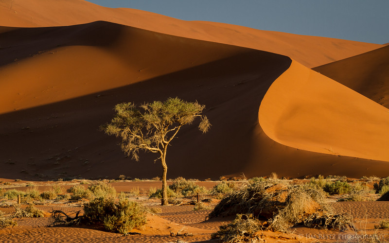 A lone Acacia (camelthorn) tree in the foreground, with 1000-foot tall sand dunes in the background. Sossusvlei, Namibia.