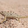 Namaqua Chameleon, Chamäleon, Chamaeleo namaquensis, Blutkuppe, Namib Naukluft Park, Namibia