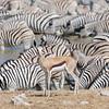 zebra, Equus quagga, springbok, Springbock, Antidorcas marsupialis, Okaukuejo waterhole, Etosha National Park, Namibia