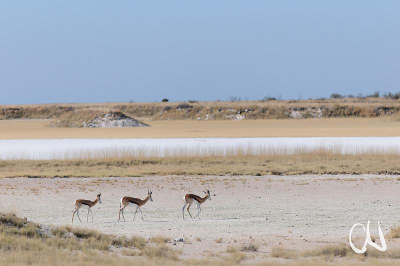 springbok, Springbock, Antidorcas marsupialis, Salt pan, Salzpfanne, Etosha National Park, Namibia