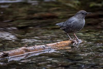 American Dipper @ Goldstream Park, Victoria BC