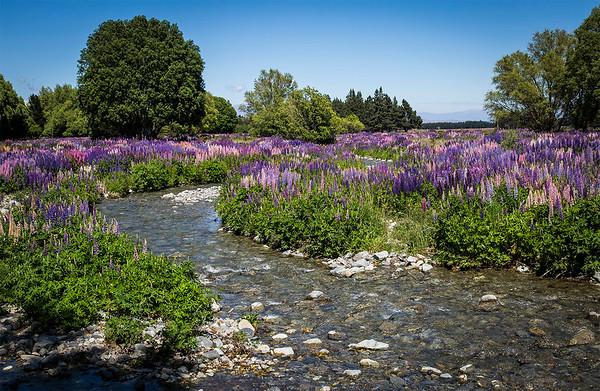 Wild lupin field