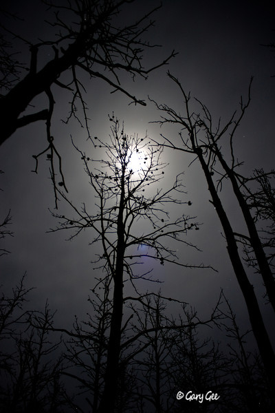 """""""Winter Moonlight"""" through the remains of a forest fire's eyes"""