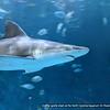 Another gentle shark at the North Carolina Aquarium On Roanoke Island.