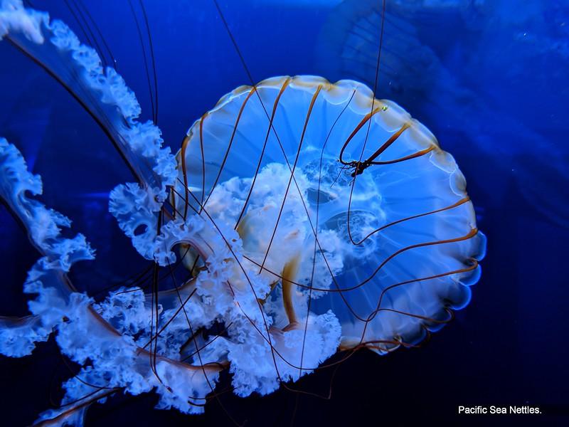 Pacific Sea Nettles.