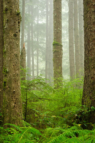 Trees in the fog<br /> Olympic National Park