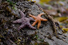 Star Fish<br /> Olympic National Park