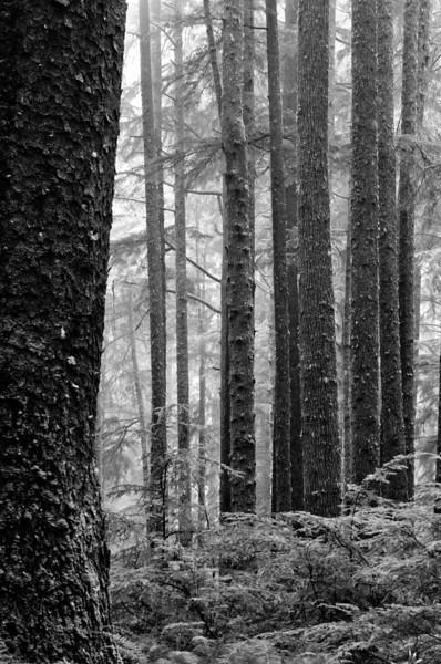 Forest Black and White<br /> Rain Forest at Second Beach<br /> Olympic National Park