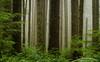 Rain Forest in Fog<br /> Second Beach<br /> Olympic National Park