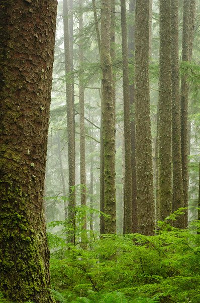 Rain Forest Trees<br /> Olympic National Park