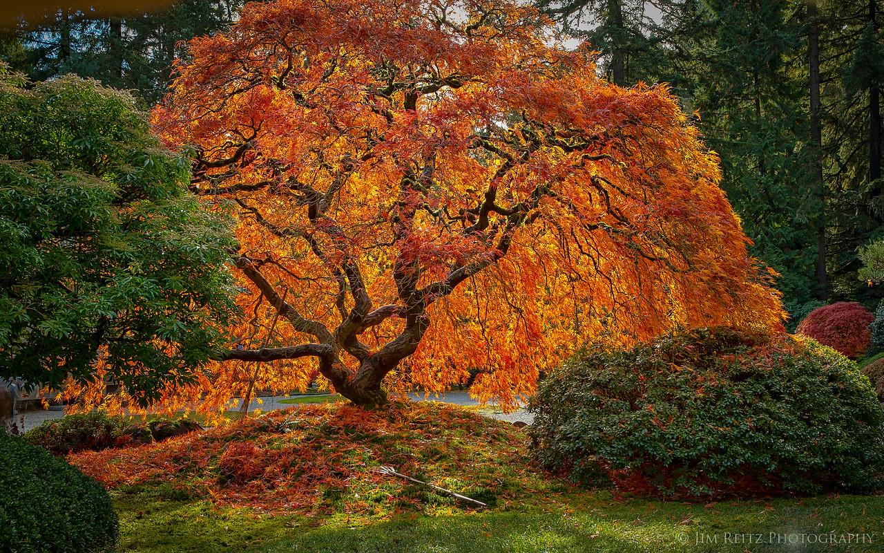 Maple tree - Portland Japanese Garden