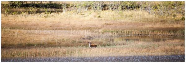 Roe Deer Buck, Loch Tulla