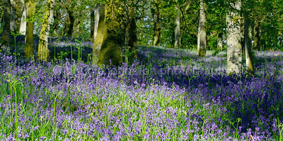 Kinclaven Bluebell Wood, Stanley