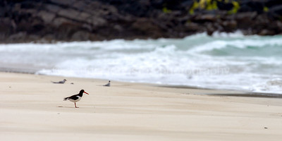 Oyster Catcher & Arctic Terns