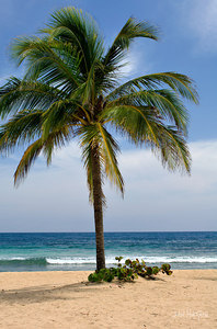 Palm Tree At Labadee