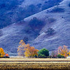 Fall Maples on Old Monterey Highway, near Gilroy, CA