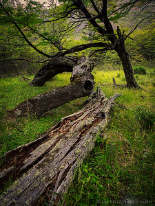 Lenga trees make some interesting shapes, near Lago Grey in Patagonia, Chile