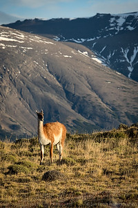 A Guanaco - relative of llamas and camels - in Torres del Paine national park in Chile