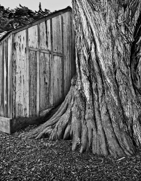 Shack and Tree, Point Lobos, CA
