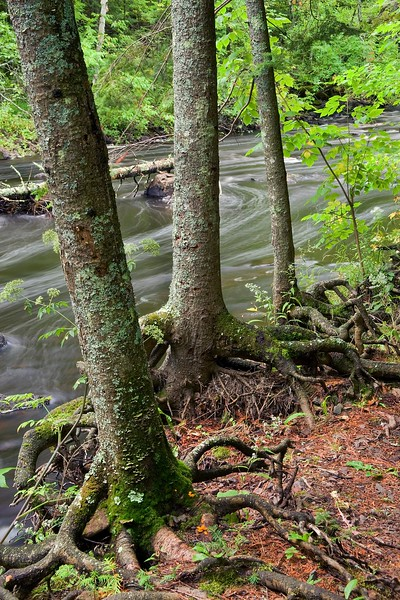 Tree roots and stream