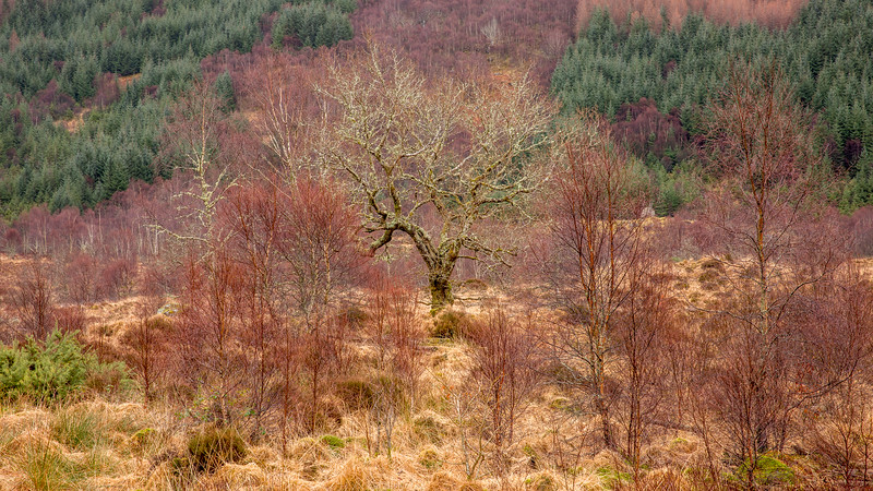 Oak Forest Ardnamurchan