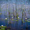 Shobhail Lilies